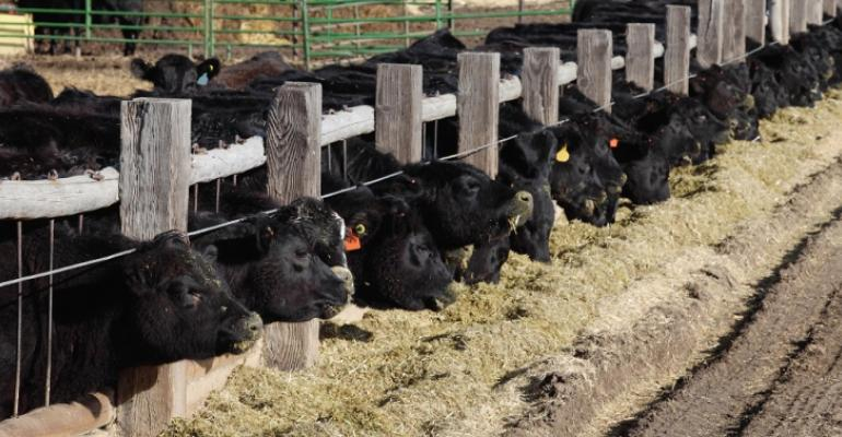 cattle at bunk