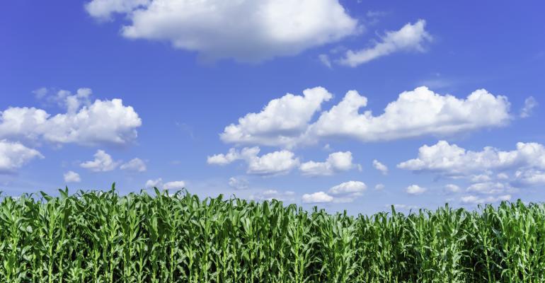 corn field under bright blue sky