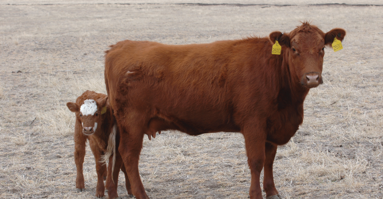 Cow calf pair in drought inflicted pasture
