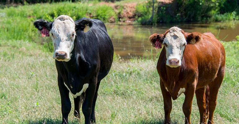 Oklahoma State preg check heifers.jpg