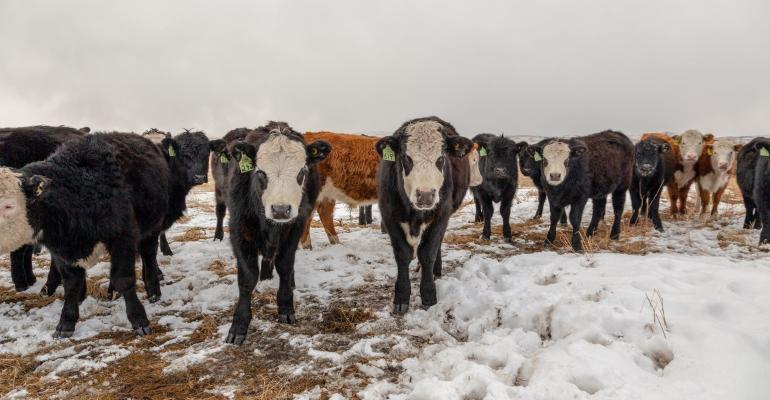 A group of black and red weaned baldy calves on snow-covered winter pasture.