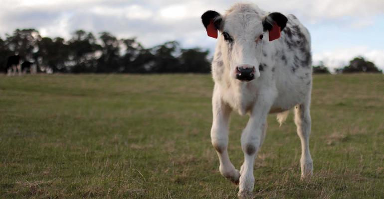 This is an image of a young cow walking through a field, wearing RFID Ear Tags. It was taken just before sunset in Victoria, Australia.
