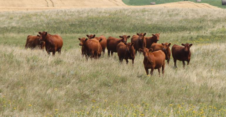 Red Angus Yearling Heifers