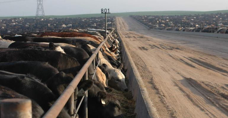 cattle happily eating
