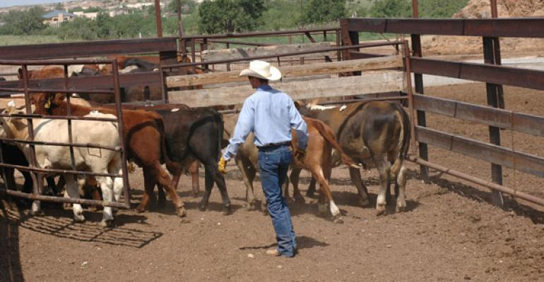 Rounding up cattle