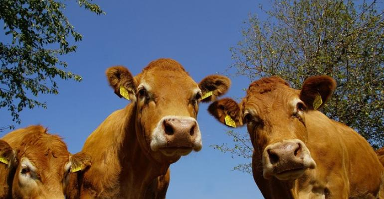 SRUC cattle methane while grazing.jpg