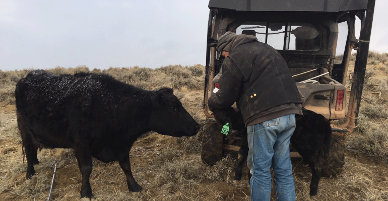 Weighing and tagging calf