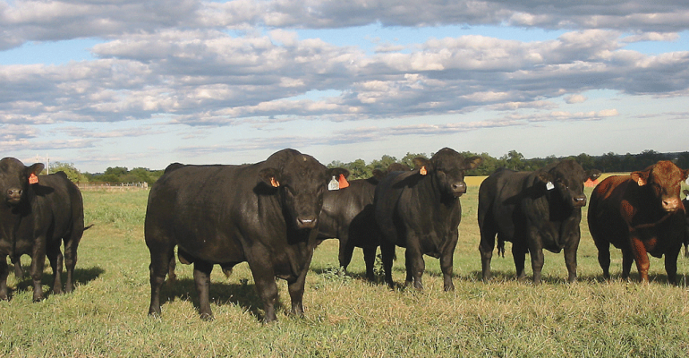 Simm Angus bulls with cows