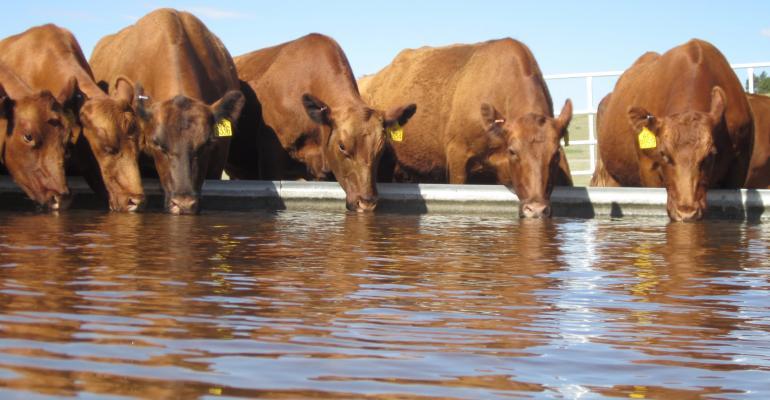 Heifers drinking
