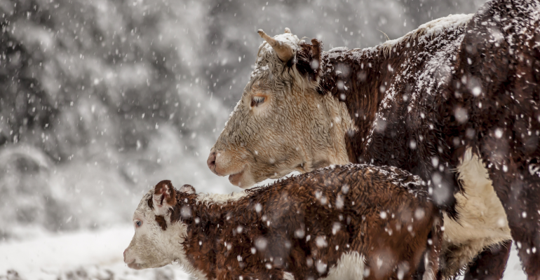 Cold stressed calves