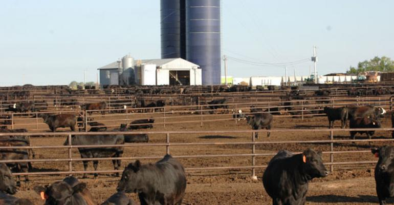 Fed cattle