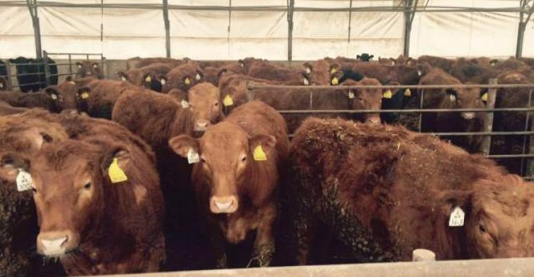 Red Angus steers