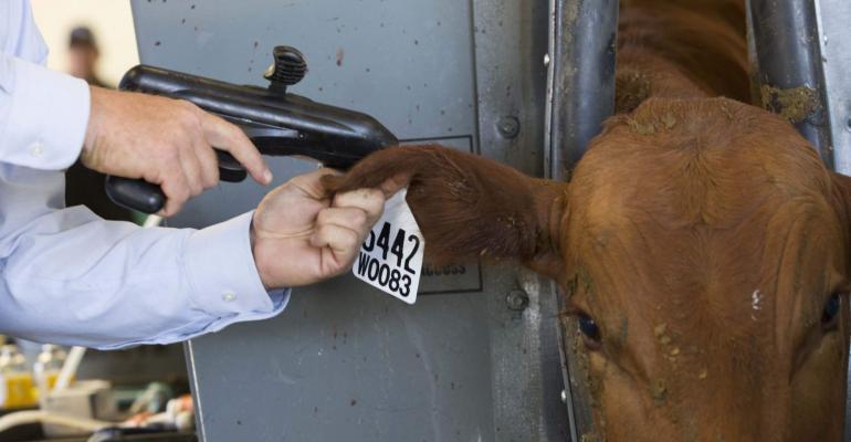 implanting a calf