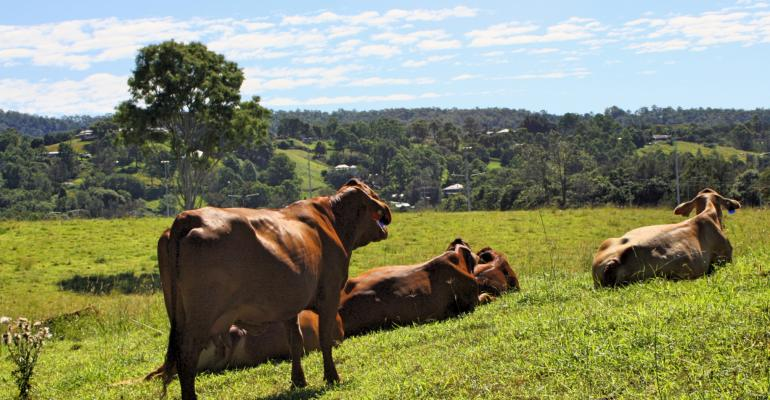 beef cows rest on hill
