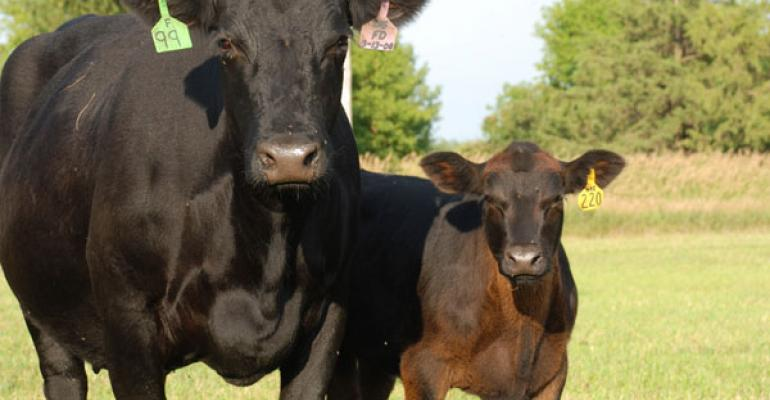 Black cow calf pair