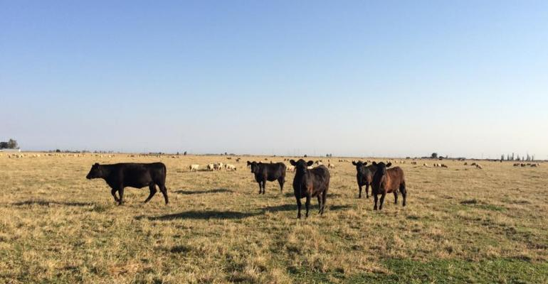 Cattle and Sheep Grazing