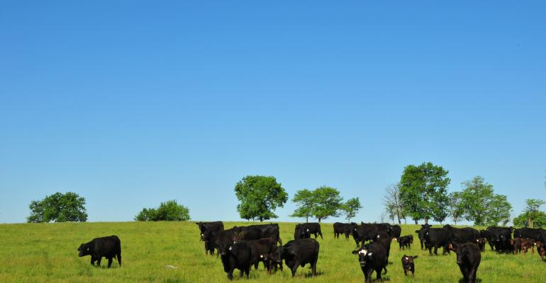 Cattle grazing on treated fescue