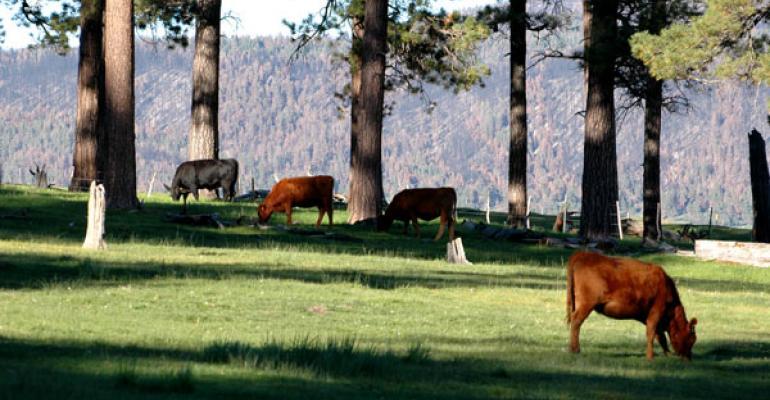 Cattle grazing public land