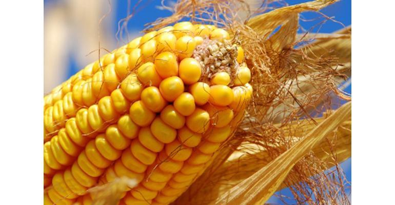 Corn ear closeup