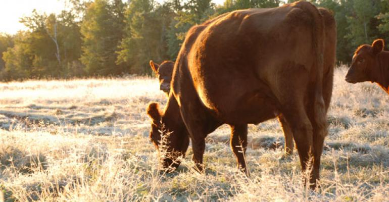 Cow grazing early morning pasture