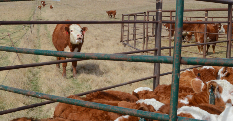 Hereford cow away from calf