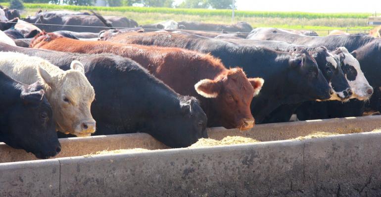 cows and corn 2.jpg