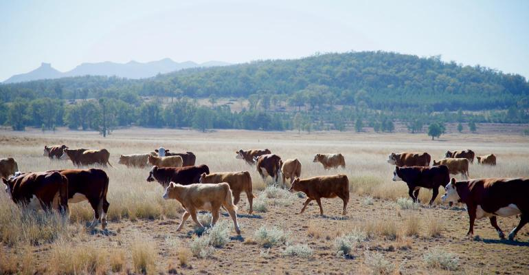 cows in drought4.jpg