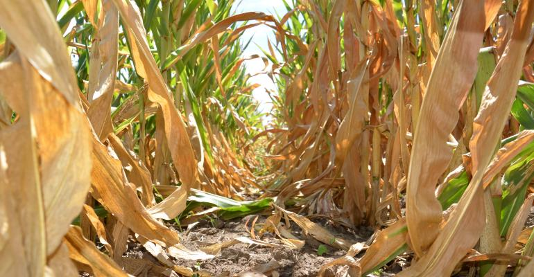 Drought stressed corn