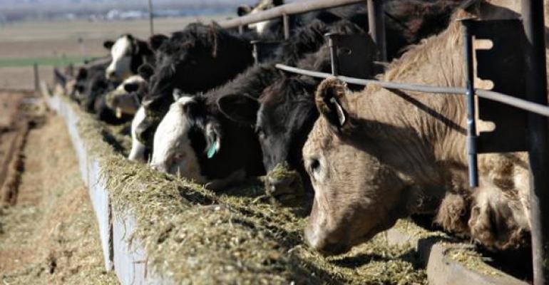 Feedlot cattle eating