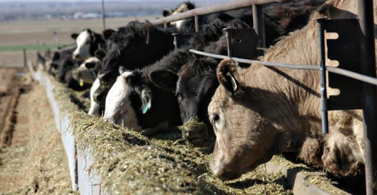 Feedlot cattle eating