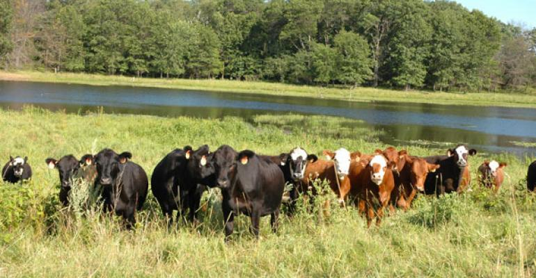 grazing cattle by streams