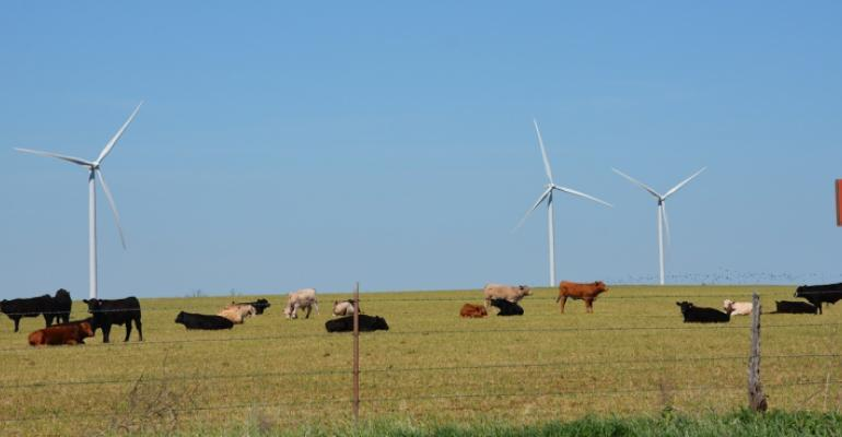 Cattle grazing next to windmills
