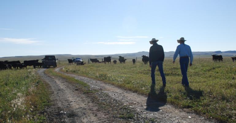 Ranching looking at his cowherd