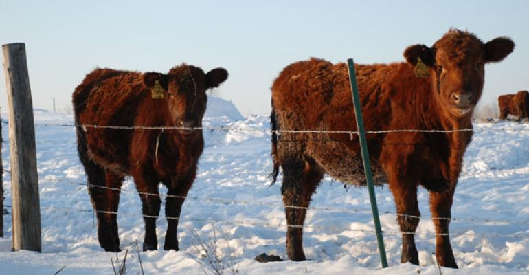 Red Angus heifers in snow
