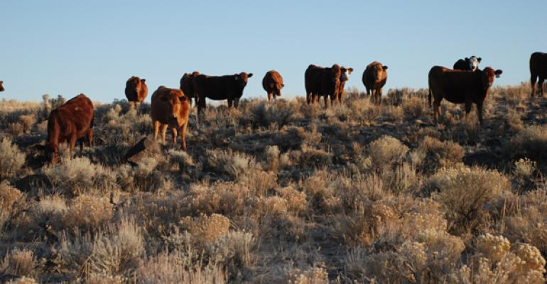 Cattle eating on hillside