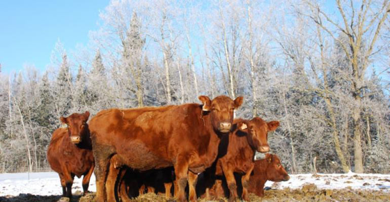 Red cows in the winter