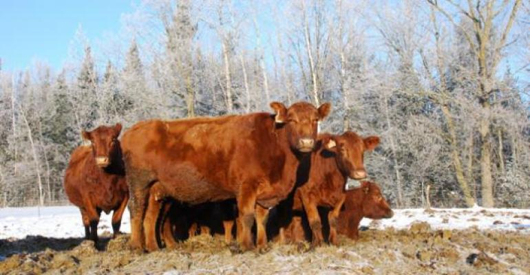 Red cows
