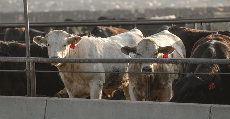 Feedlot cattle