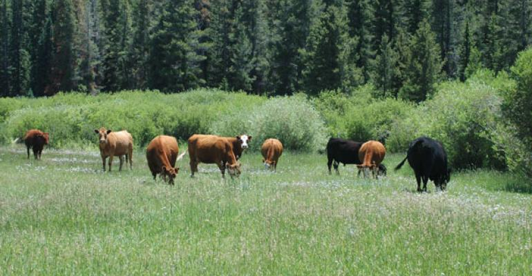 Cattle grazing pasture