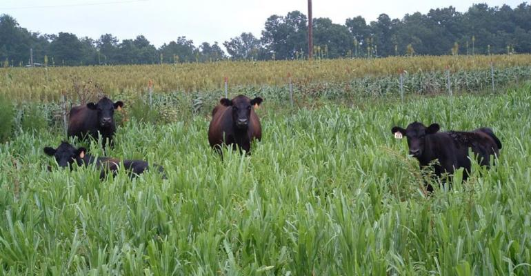 Mature cows are grazing pearl millet cover crop in the foreground. Grain sorghum for cash cropping is shown in the background.