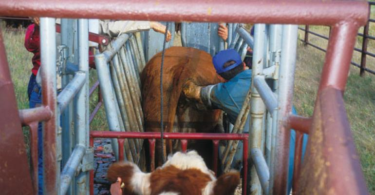 Consider Pregnancy Checking Cattle Early