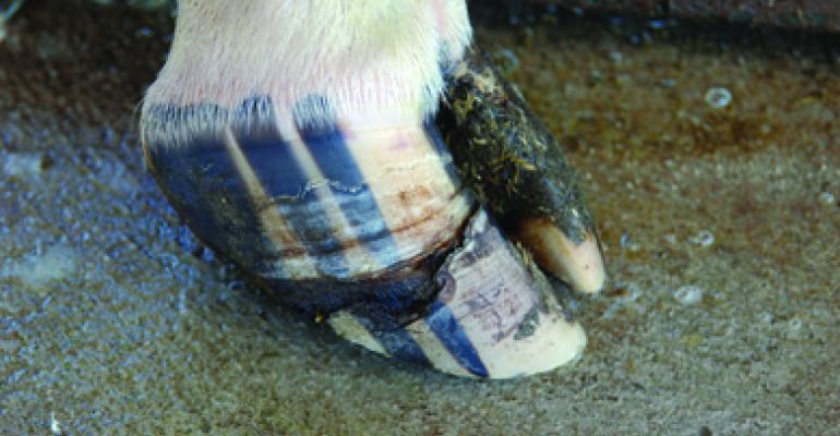 treating hoof cracks in beef cattle