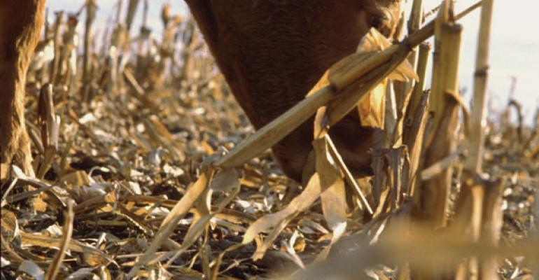 Wintering Yearlings On Residue Can Be Profitable