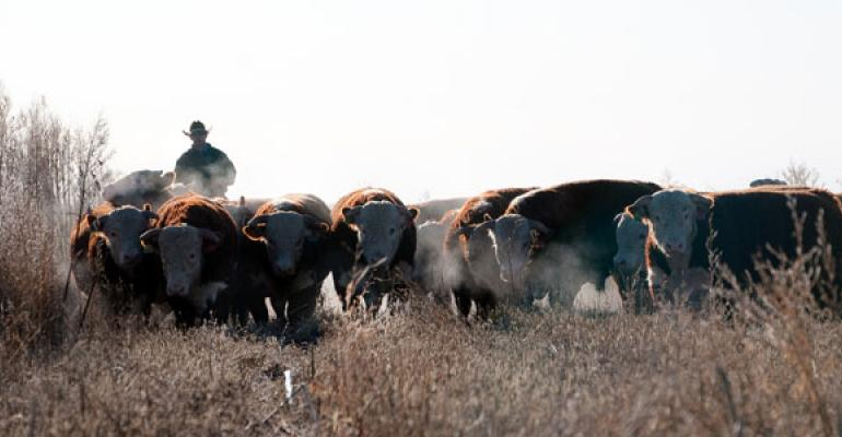 Winter Bull Management Is Important For Breeding