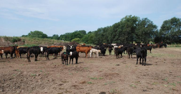 Drought Forces Cattle North To Semi-Confinement
