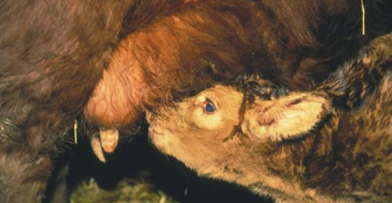 calving tips on colostrum cow milk management