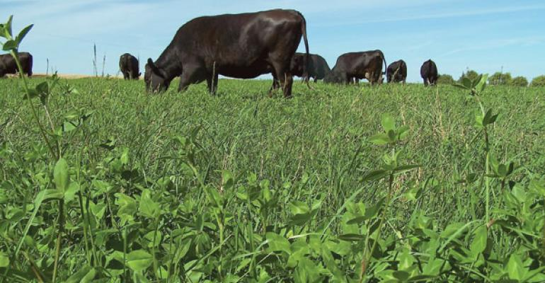 High-Sugar Grass Increases Pasture Grazing Gains