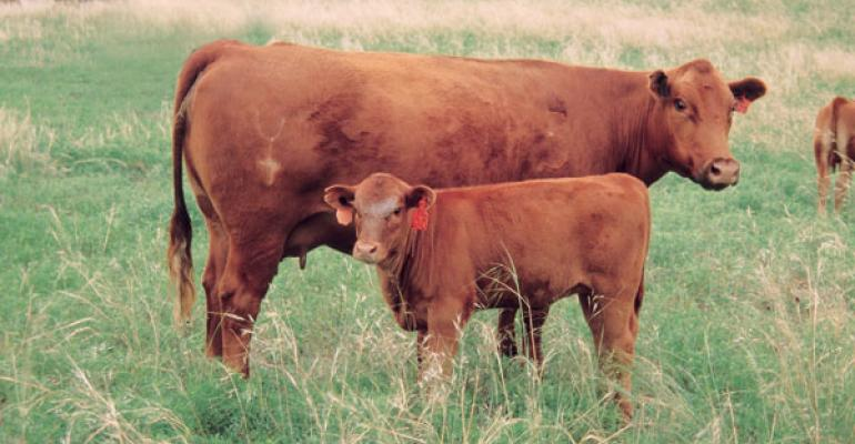 Study Examines Cow's Protection Behavior