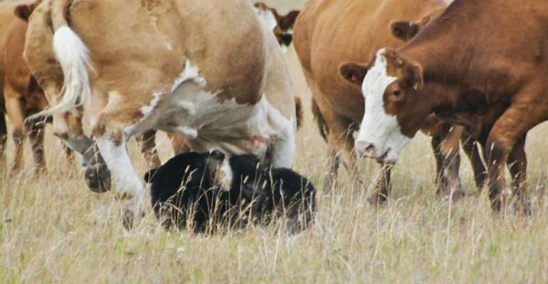 Survey Shows Producers Tolerate Aggressive Cows | Beef Magazine