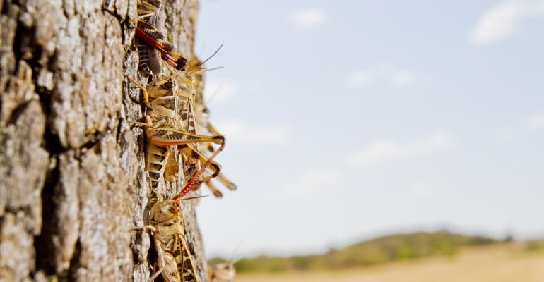 Grasshoppers gather on an oak tree on a Southern Oklahoma ranch during the 2011 drought Weather conditions this spring have created an ideal environment for grasshoppers Noble Foundation consultants are encouraging producers to check their fields now and take action as needed